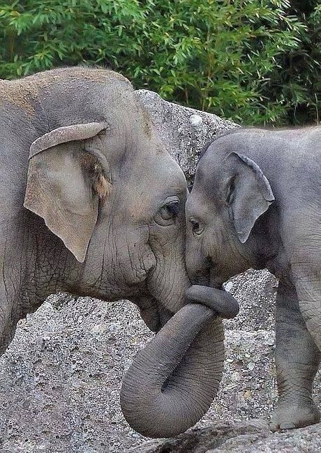 a Big hug between mama and baby elephant. Sweet1