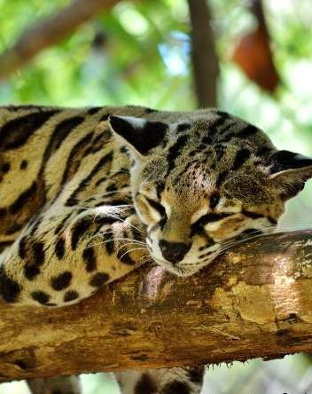 Gorgeous ocelot at Las Pumas Rescue Center in Guanacaste, Costa Rica http://www.twoweeksincostarica.com/las-pumas-rescue-center/ #CostaRica #bigcats