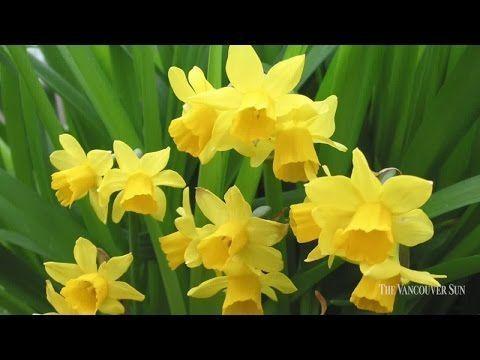 Botanus Vancouversun Stevewhysall Mighty Mini Daffodil Garden Collection Daffodil Gardening Daffodils Garden