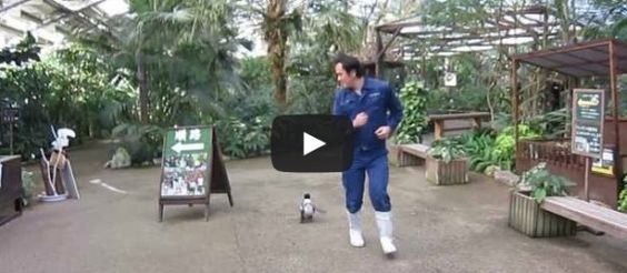 Watch a baby penguin chase after a zookeeper!
