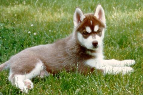 Love Brown Huskies Brown Husky Puppy Husky Puppy Husky