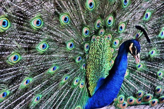 Peacock Show Off Panama City Florida Karsun Designs