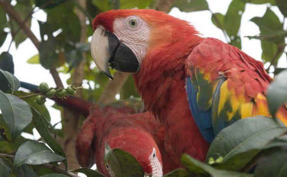 Araracanga, ave da Floresta Amazônica (AM)
