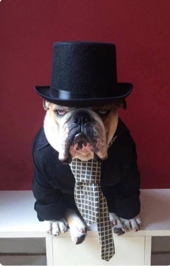 Bulldog elegante: