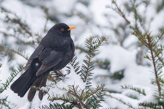 Poland WILD LIFE  Zimowy Kos. Kos, The Common Blackbird (Turdus merula)  Foto: Rafał Szozda