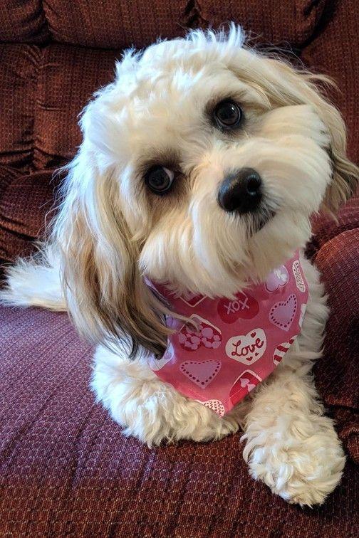 Adopt Casey On Maltese Shih Tzu Maltese Mix Maltese Dogs