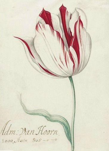 Jacob Marrel  Study of the Admiral van Hoorn Tulip  17th century  Via: Still life Quick heart