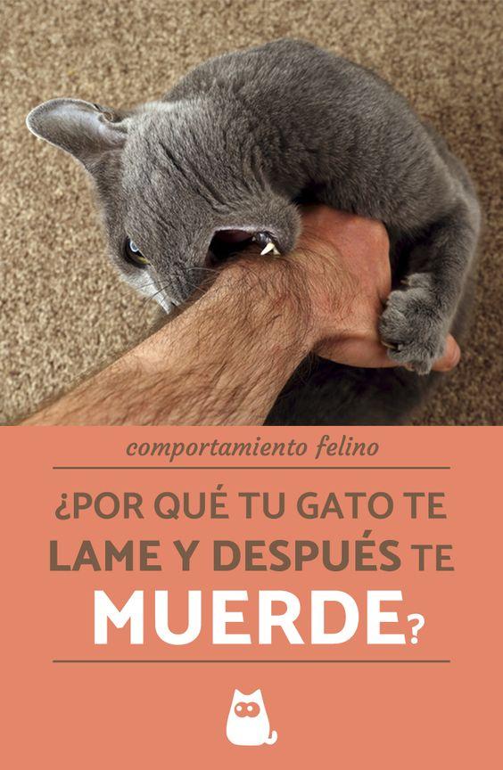 Por Qué Mi Gato Me Lame Y Después Me Muerde Pulgas Gatos Comportamiento De Los Gatos Gatos