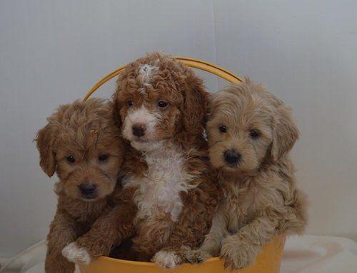 Irish Doodle Puppies Characteristics Pictures Advantages Colors Irish Doodle Irish Dog Doodle Puppy
