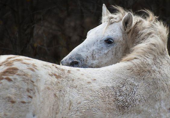 Bashkir stallion Zobr