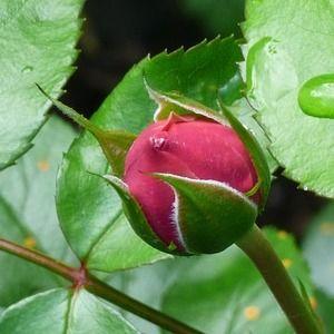 Kuncup Mawar Rosebud Pengakuan Cinta Pernyataan Cinta Arti Bunga Mawar Menurut Jenis Warna Jumlah Dan Kondisi Bunga Arti Bunga Bunga Mawar Warna