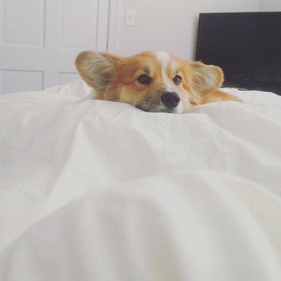 buttersthefluffycorgi | Monday got me like  #mondaze #nevergettingoutofbed #coffeeplease #literallycanteven #basic