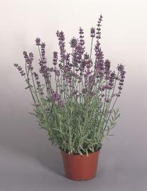 Lavandula angustifolia, Munstead Variety, Perennial - by  Benary