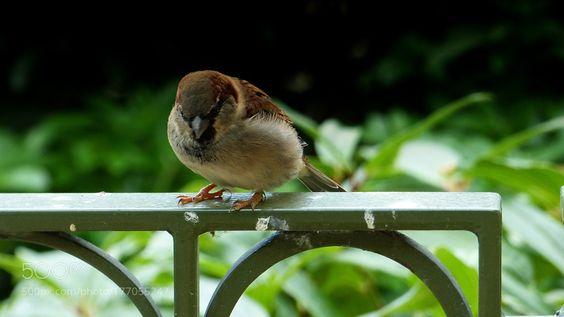 Sparrow by BertSeinstra via http://ift.tt/2d9FSWB