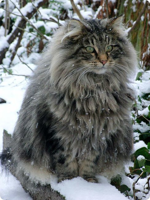 fluffy maine coon in snow
