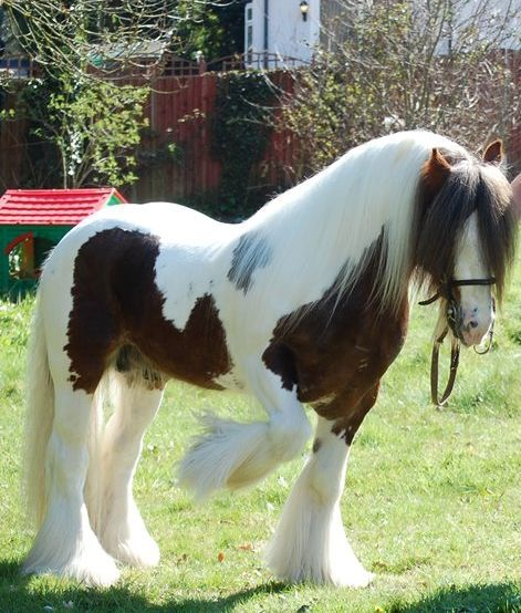 Tonto, small Gypsy stallion and so beautiful