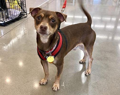 Lee S Summit Mo Chihuahua Meet Slinky Dog A Dog For Adoption Dog Adoption Chihuahua Dogs