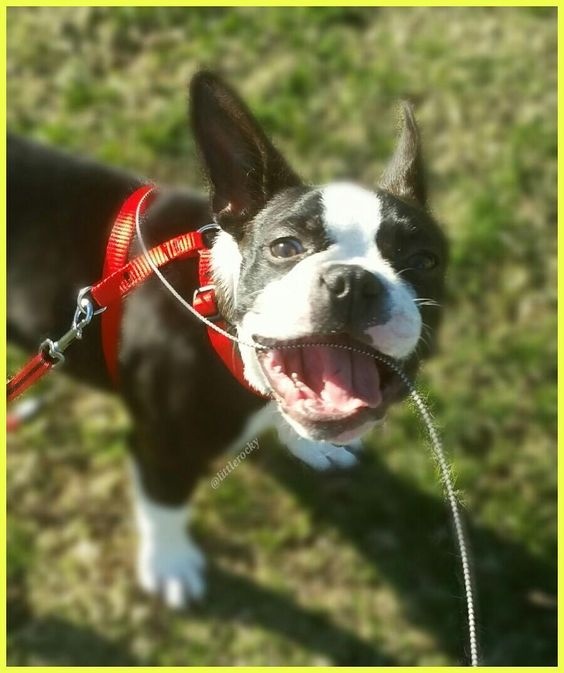 7 months old Good morning FURriends!  Happy TT !!! #bostonterrierlove  #bostonterrier_feature #bostonterriersoverload #mydogiscutest #igcutest_animals #bostonsofinstagram #squishyfacecrew #lacyandpaws #littlerocky #rocky #shortsnouts #dogsandpals #btcult #bostonterrier #pawpack #bostonterriers #bostonpuppy #bostonpuppies #bostonterrierlove #bostonlove #bostonterrierpuppy #bostonterriersofinstagram #bostonterrierslove #bostonterriersforever #bostonterriercult #dog_features #excellent_puppies…