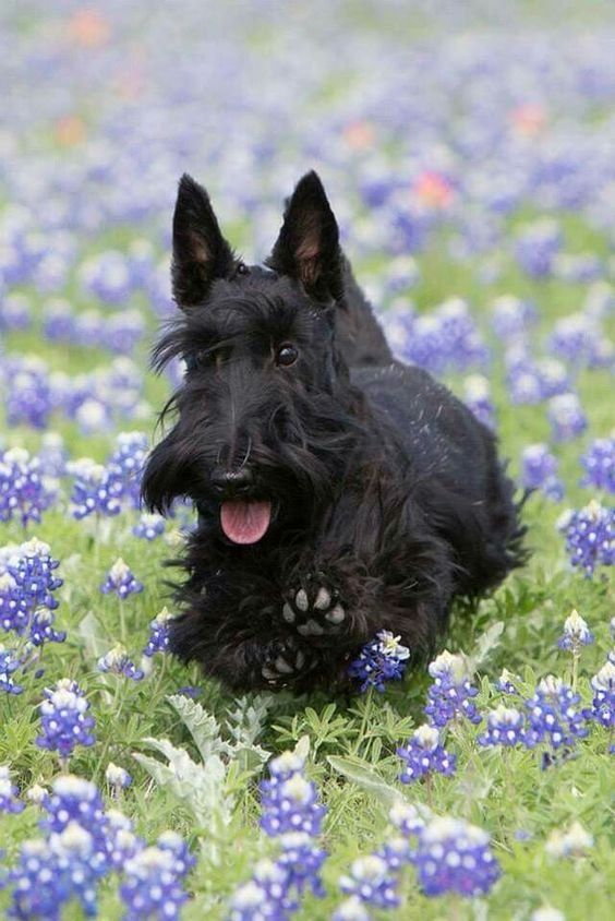 Dog Nice Image Scottie Puppies Scottie Terrier Scottish Terrier