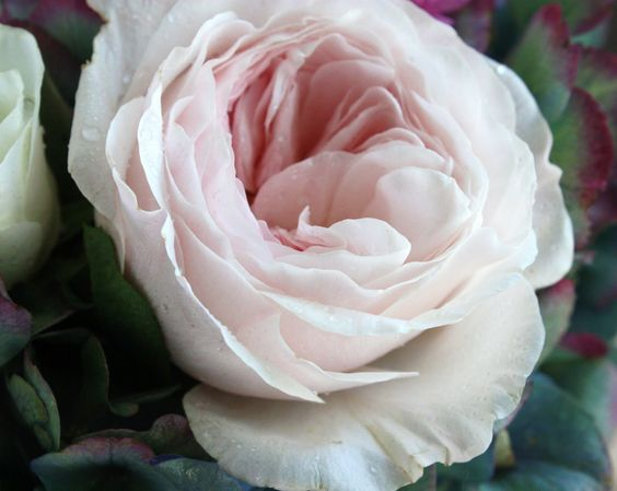 light blush garden roses | flower types | Pinterest ...