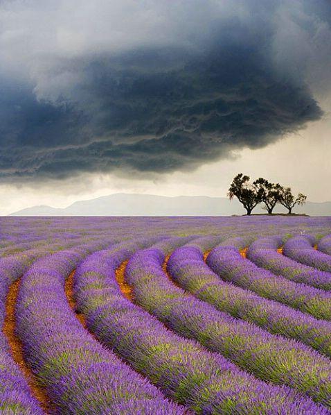 Lavender field - Provence