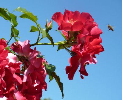 Biene im Anflug auf Rose