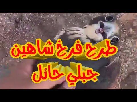 طرح فرخ شاهين جبلي حائل 2019 7 3 اليوم Falcon Hunting Youtube Neon Signs Neon Falconry