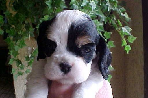 Tell Tail Cocker Spaniels Has Cocker Spaniel Puppies For Sale In Olmsted Falls Oh On Akc Puppyf Spaniel Puppies For Sale Cocker Spaniel Puppies Cocker Spaniel
