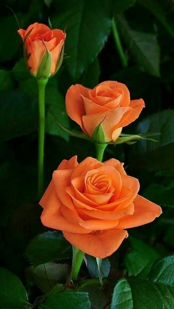 naranja  #naranja #rosesGardencare