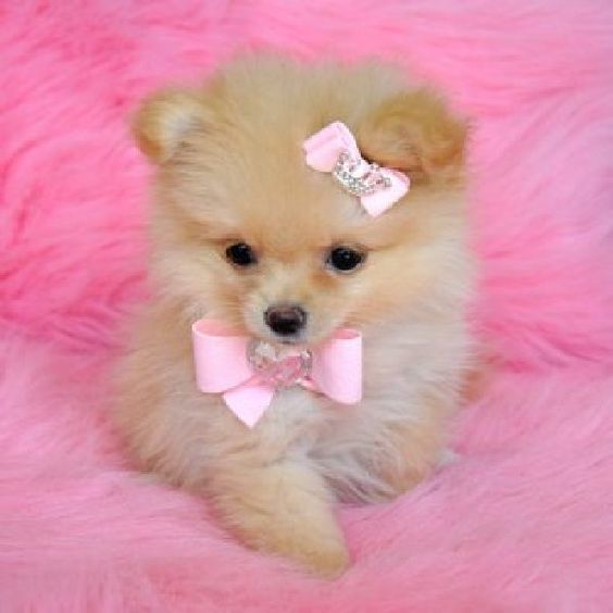 Pomeranians, Pomeranian puppy and Teacup pomeranian on