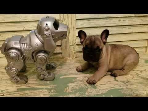 Akc Dark Sable Male Simple Simon Puppy French Bulldog For Sale Bulldog Puppies For Sale French Bulldog