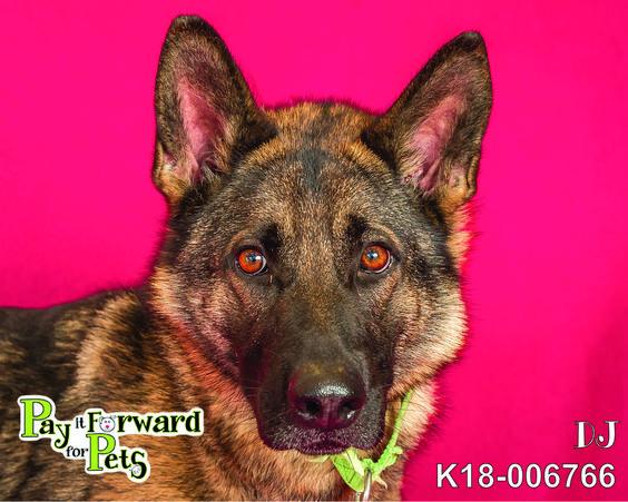 Adopt Dj On German Shepherd Dogs Dogs Dog Search