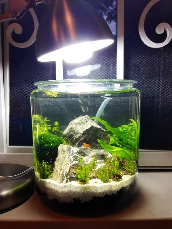 Low tech 1 gallon shrimp jar just keep swimming for Shrimp fish tank