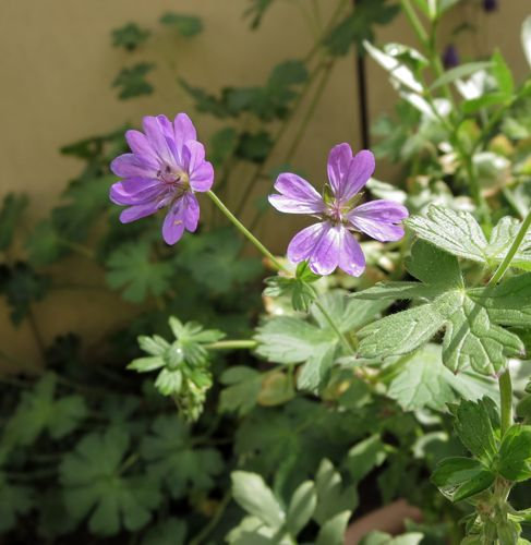 A Day - A Photo: Wild Cranesbill