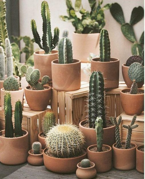 Different types of cacti in varying sizes of terracotta pots.
