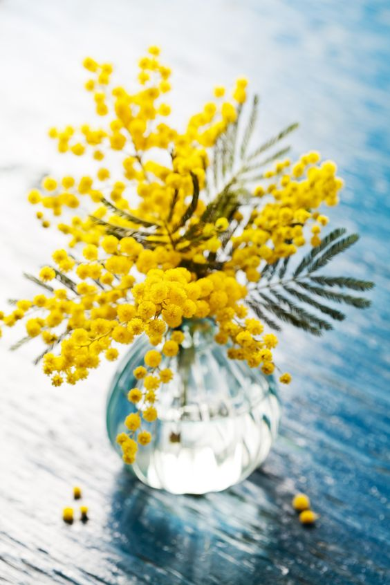 Joys of spring - Mimosa flowers or silver wattle in vase: