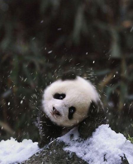 Panda shakin' off some snow