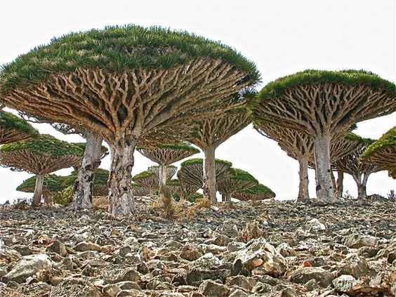 Coolest trees around...dragons blood trees, found on the island of Socotra.