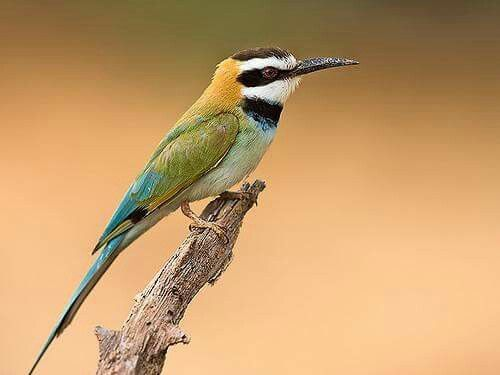 Witkeelbijeneter - White-throated Bee-eater (Merops albicollis) in Kenya by Thomas Retterath.