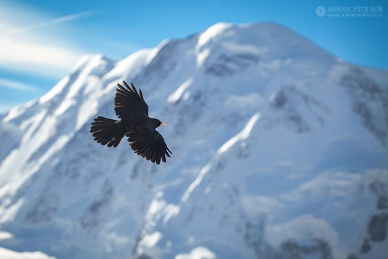 Black bird in Alps.