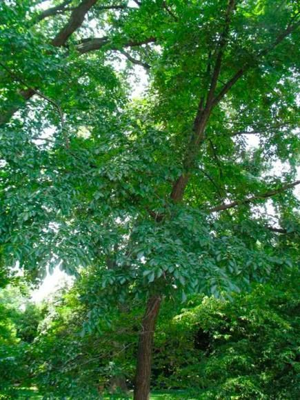 Gardens trees and garden ideas on pinterest for Ornamental trees that grow in shade