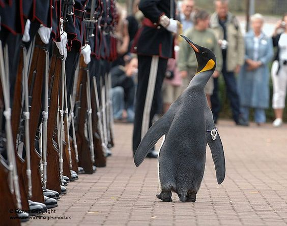 Nils Olav The Penguin Inspects The Kings Guard Of Norway After Being Bestowed With A Knighthood At Edinburgh Zoo Penguins Cute Penguins Animals