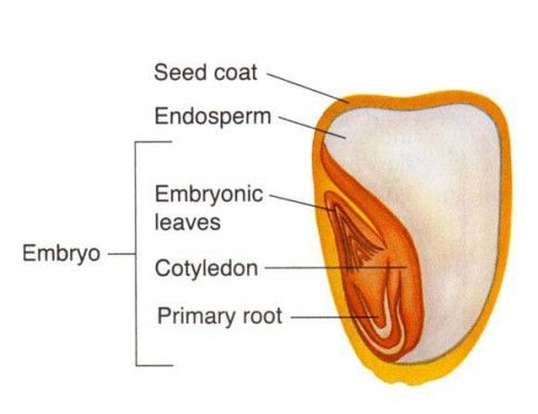 gardens anatomy and seeds on pinterest : seed diagram - findchart.co