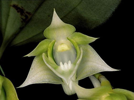 rare orchids pictures | Rare Orchid species Seedling plant - Dendrobium Punamense | eBay