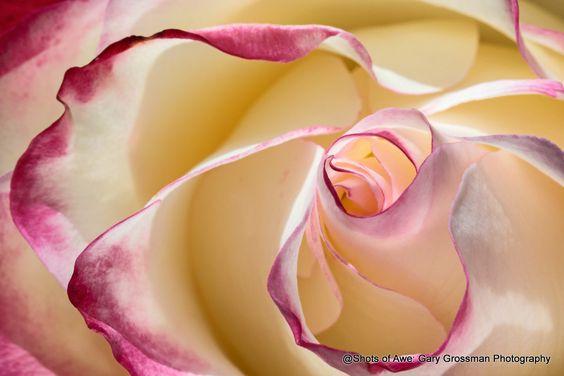 Inner Light - Rose closeup along the pacific ocean shore.
