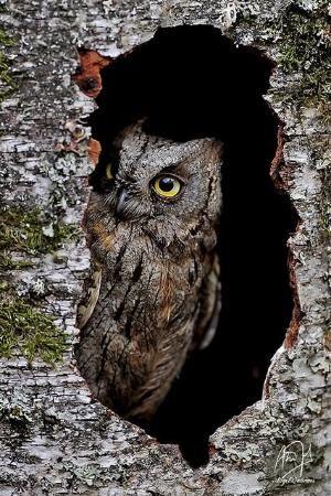 Northern Saw Whet Owl by carolyn