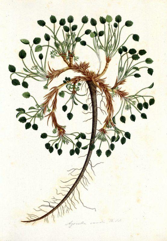 Azorella crenata. Proyecto de digitalización de los dibujos de la Real Expedición Botánica del Nuevo Reino de Granada (1783-1816), dirigida por José Celestino Mutis: www.rjb.csic.es/icones/mutis. Real Jardín Botánico-CSIC.