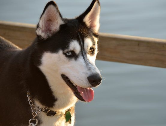 4 Types Of Husky Breeds Temperament Characteristics
