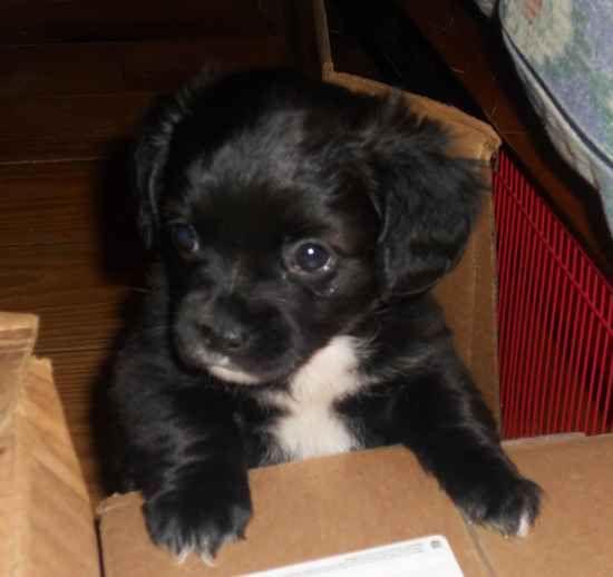 chiweenies | Chiweenies Dogs