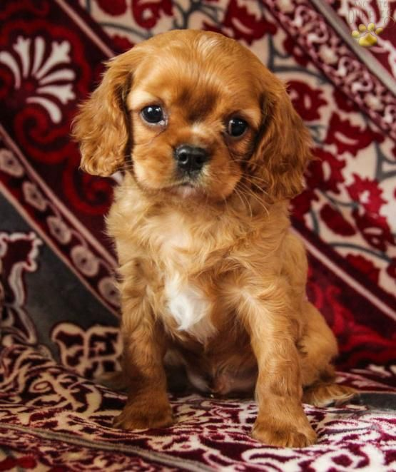 Elliot Cavalier King Charles Spaniel Puppy For Sale In